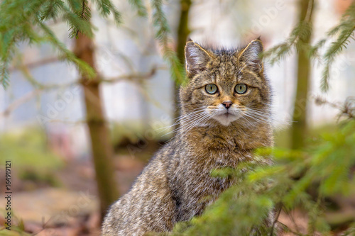 Photo  Cute close up of European wild cat