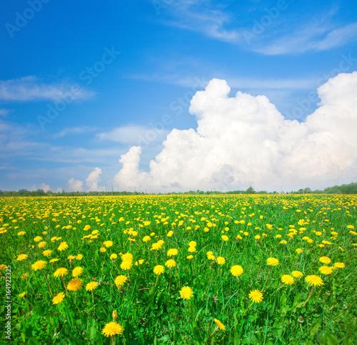Deurstickers Groene Yellow flowers field under blue cloudy sky