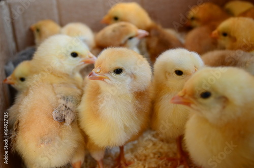 a lot of live chickens in a box - Buy this stock photo and