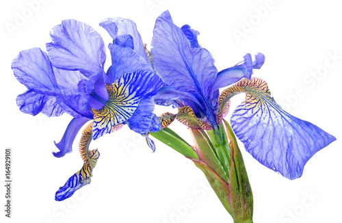blue iris blooms group isolated on white