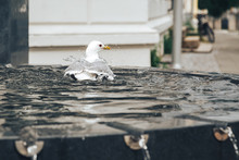 Fountain And Herring Gull In T...