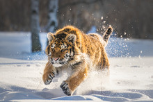 Beautiful Young Siberian Tiger...