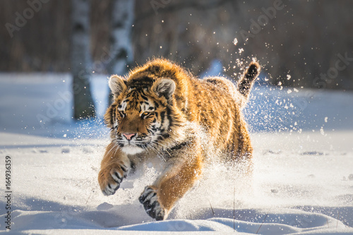 Valokuvatapetti Beautiful young Siberian Tiger enjoying his typical environment,.