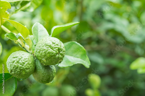 Photo bergamot fruit on tree, herbal plant at home garden with blur background