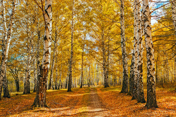 Obraz autumn birch forest