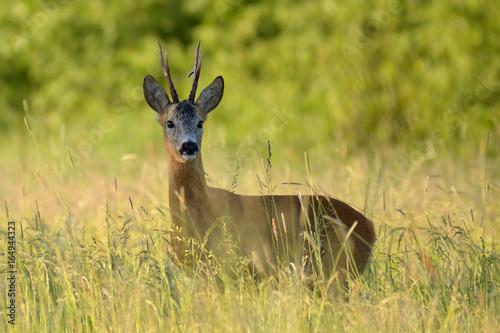 Foto op Canvas Ree Sarna / kozioł wśród traw na dzikiej łące