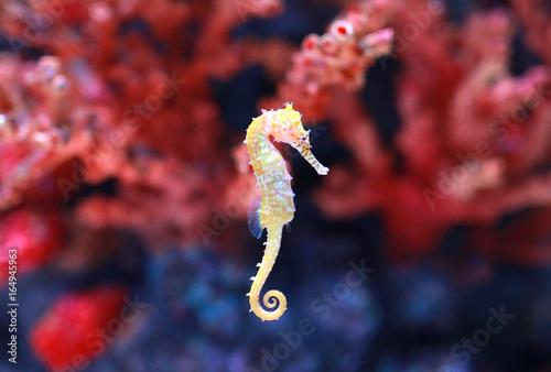 seahorse (Hippocampus) swimming.