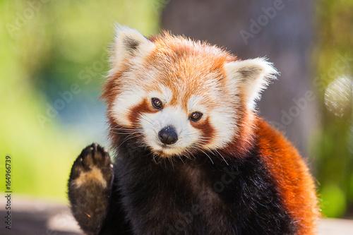 Poster Panda Petit panda roux