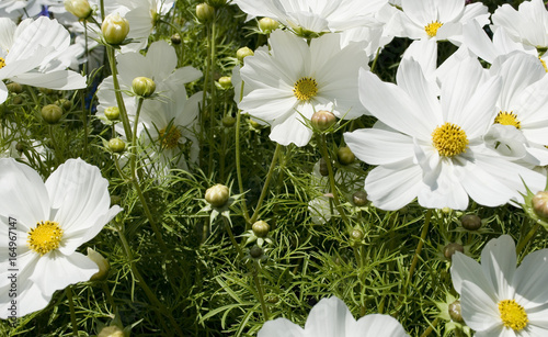 A group of white cosmo flowers cosmos bipinnatus is a plant a group of white cosmo flowers cosmos bipinnatus is a plant belonging to the mightylinksfo