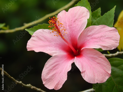 Photo Hibiscus rosa-sinensis or is a genus of flowering plants in the mallow family, Malvaceae