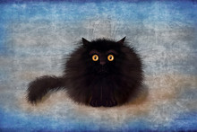 Fluffy Black Mad Kitten On Blu...