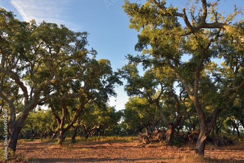 Cork oak trees, Portugal