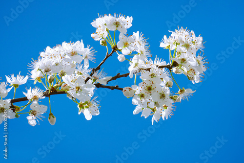 Branch with flowering plum tree on a background of blue sky