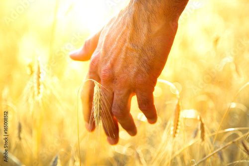Man hand against the background of a rye. Rural landscape. Canvas Print