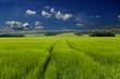 Getreidefeld mit dramatischem Himmel und drohendem Unwetter