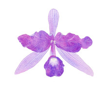 Orchid Watercolor Illustration