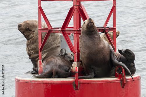 Photo  Steller's Sea Lions