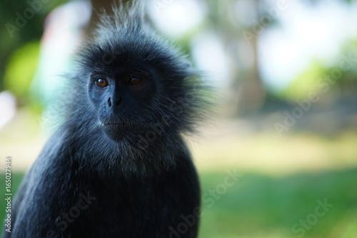 Silvered-leaf monkey looking sad Poster