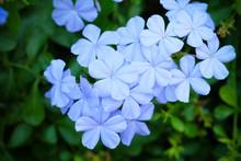 Blue Plumbago, Cape Leadwort O...