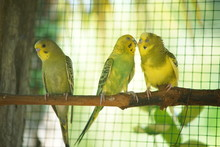 Three Budgerigars Relaxing On ...