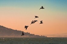 Brown Pelicans Flying At Sunset Over Pacific Ocean In San Francisco With Bay Bridge In Background