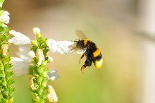 Bumble Bee Flies Near To A Wil...