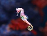 Fototapeta Zwierzęta - seahorse (Hippocampus) swimming.
