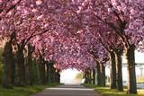 Fototapeta Forest - Kirschblüte in Magdeburg, Deutschland
