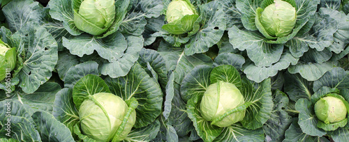 Valokuva Panoramic image of cabbage on vegetable garden