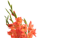 A Bouquet Of Gladiolus Isolate...