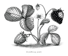 Strawberry Plant Botanical Vintage Illustration