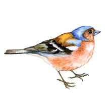 Bird Chaffinch Finch Isolated ...