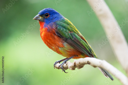 Fotobehang Vogel Painted bunting - Passerina ciris - most beautiful colored bird of the North America - protected