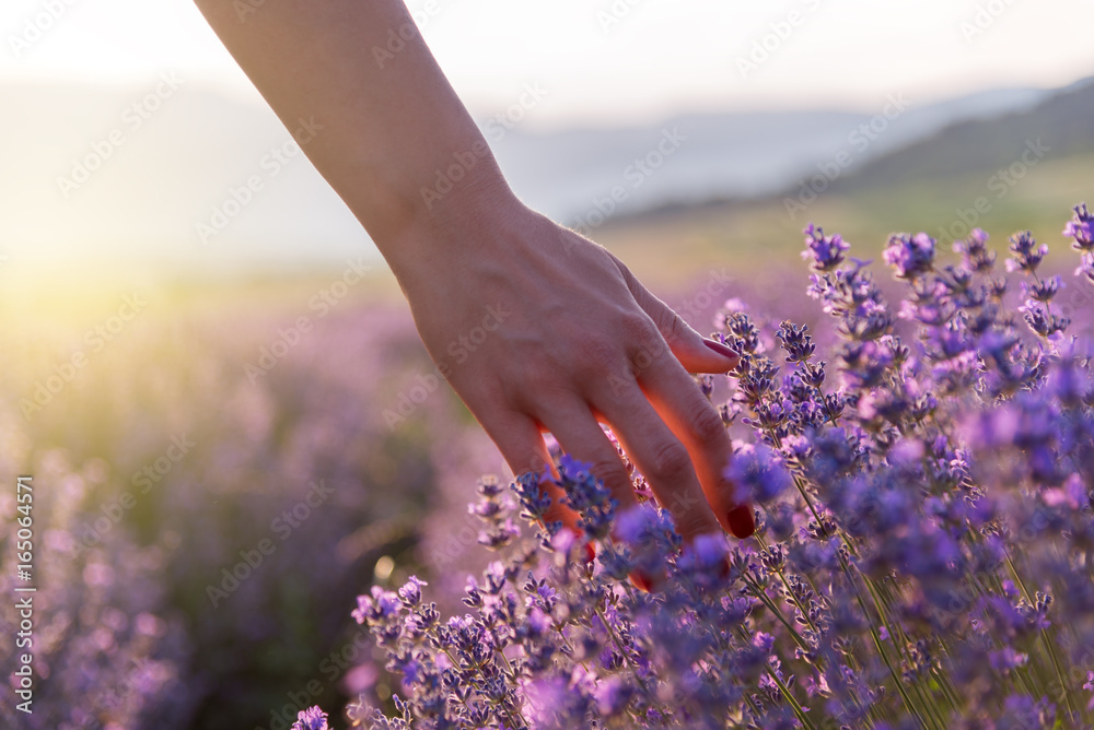 Fototapety, obrazy: Touching the lavender