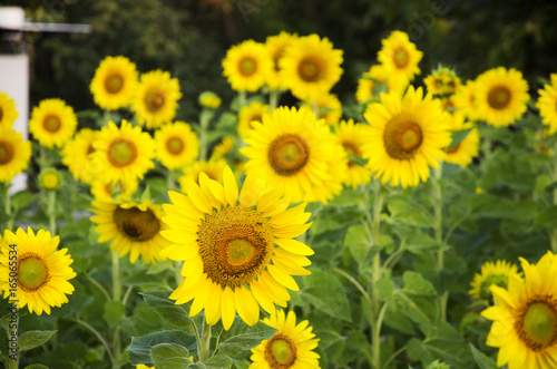Poster Jaune Sunflower plant on field