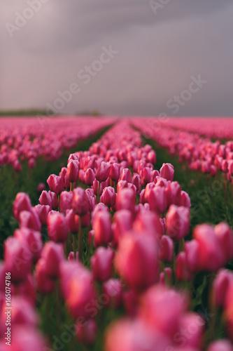 Tulpenfeld bei Sonnenuntergang