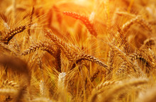 Golden Wheat Sundown Evening / Detail, Moody Light, Sunrise, Sundown, Rich Harvest, Afternoon,