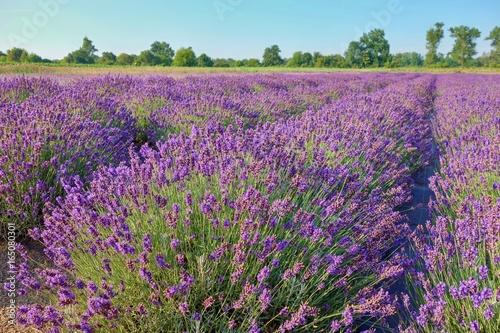 Tuinposter Lavendel Beautiful Lavender Field, Male Levare- Slovakia, Europe- JULY.6.2017
