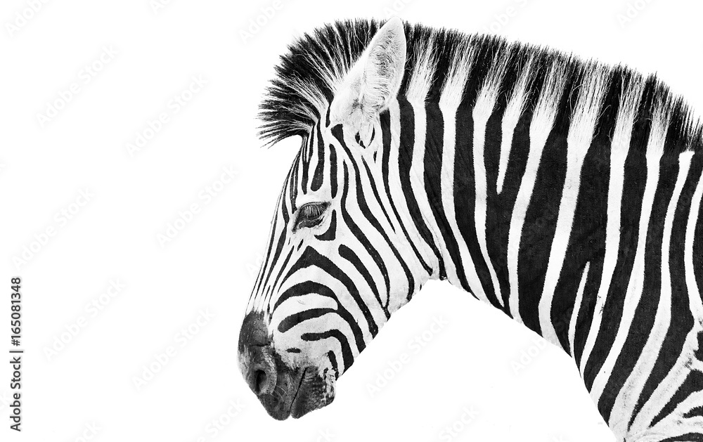 Fototapety, obrazy: Zebra high key