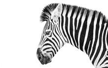 Zebra High Key