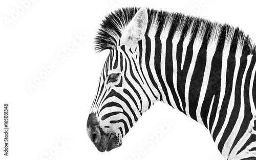 Zebra high key