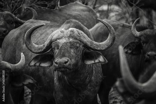 Fototapety, obrazy: African Buffalo