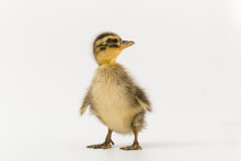 Funny Duckling Of A Wild Duck ...