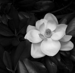 Obraz na Szkle Czarno-Biały White Magnolia
