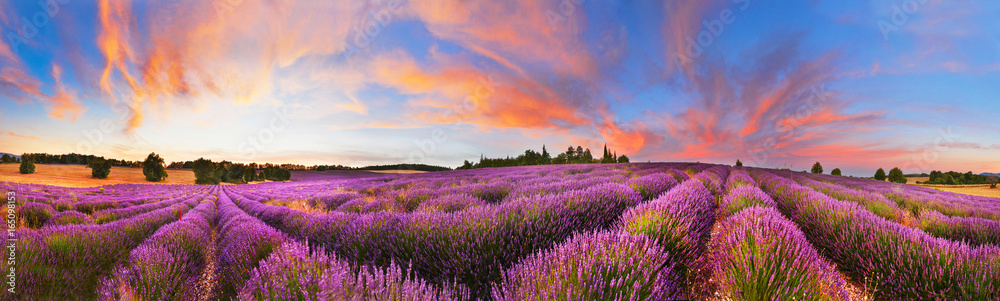 Fototapety, obrazy: Panorama of lavender field at sunset, France