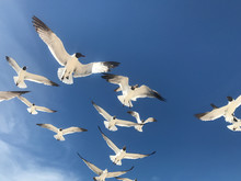 Seagulls Flying Overhead With Blue Sky Background