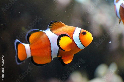 Image of: Vertebrate Search Anemonefish Ocellaris Clownfish Amphiprion Ocellaris Scientific Classification Kingdom Animalia Phylum Chordata Class Actinopte Coral Reef China Clownfish Swimming In Tank Australia Ump To Navigation Search