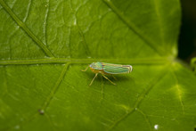 Green Leafhopper Insect On A L...