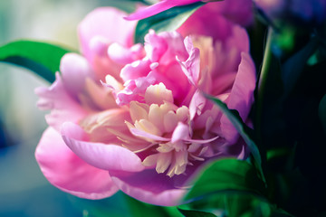 Panel Szklany Kwiaty Blossoming peony macro with blurred background for prints, posters, design, covers, wallpapers. Nice garden flower. Spring and summer plants. Artistic photo with fuchsia flower for interior, cards.