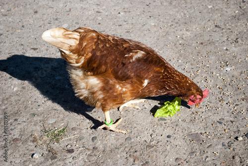 Photo Glückliches Huhn in Freilandhaltung pickt Körner auf